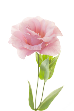Beautiful pink rose with fresh leaves isolated on white Foto de archivo