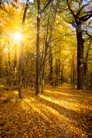 Gold Autumn with sunlight and sunbeams -  Beautiful Trees in the forest, fall season Foto de archivo