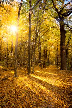 Gouden herfst met zonlicht en zonnestralen - Mooie Bomen in het bos, herfst seizoen