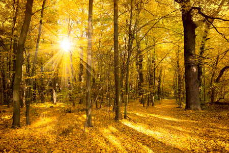Gold Autumn landscape with sunlight and sunbeams -  Beautiful Trees in the forest, fall season Foto de archivo