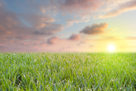 슬 방울 이른 아침에 화려한 하늘과 태양을 바라 보는 신선한 잔디, 전면에 초점