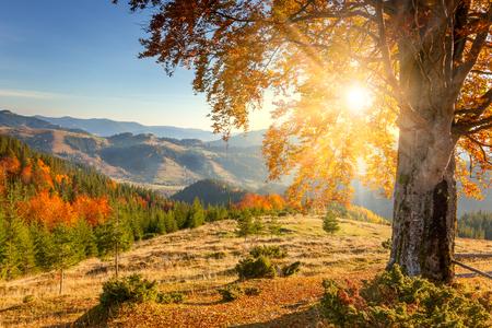 Temprano en la mañana Paisaje otoñal - amarillo viejo árbol contra el sol, montañas cubre - bella temporada de otoño Foto de archivo