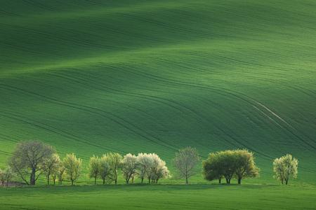 Bomen van de Bloesem met uitzicht op glooiende heuvels met velden in verval licht geschikt voor achtergronden of wallpapers, natuurlijk minimalisme landschap, Zuid-Moravië, Europa Stockfoto