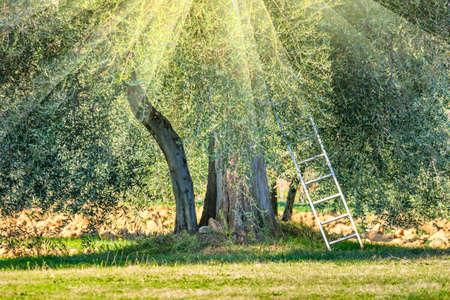 Gelukkig oogsttijd landschap van olijfbomen plantage. Mediterrane regio. Plantaardige olie en levensmiddelenindustrie. seizoensgebonden karakter
