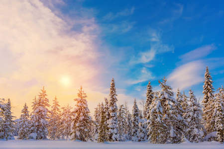 Colorful Winter Sundown - northern nature - snowy forest landscape, fir trees covered snow and beautiful sky