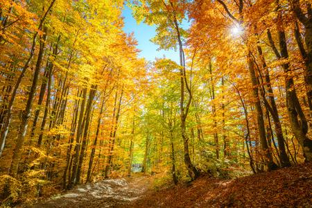 Fondo de bosque de otoño real con sol - paisaje otoñal con hojas de color amarillo brillante y árboles en bosque salvaje Foto de archivo