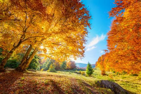 Autunno caldo e dorato nella foresta - foglie colorate e grandi alberi, calda giornata di sole con cielo blu Archivio Fotografico