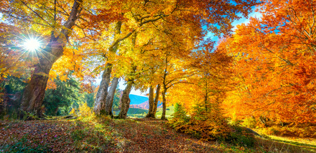 Otoño dorado en el bosque: hojas vibrantes en los árboles, clima realmente soleado y nadie, paisaje natural de otoño, panorámico