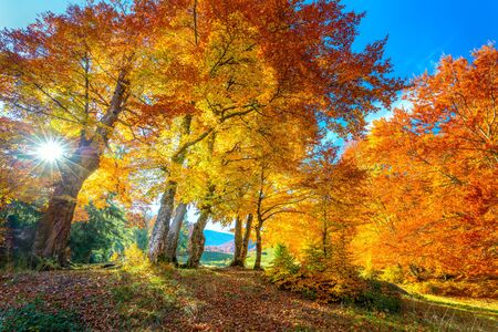 Golden Autumn season in forest - vibrant leaves on trees, sunny weather and nobody, real fall nature landscape