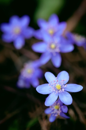 Violet forest flower Hepatica nobilis   photo