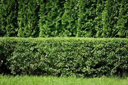 Green hedge background Foto de archivo