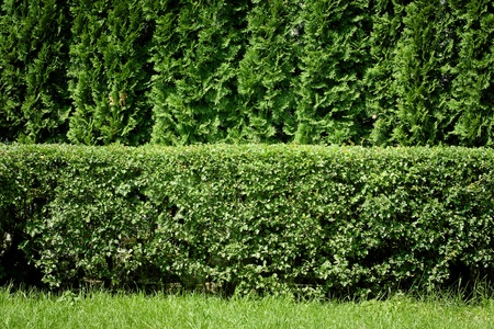 thuja: Green hedge background Stock Photo