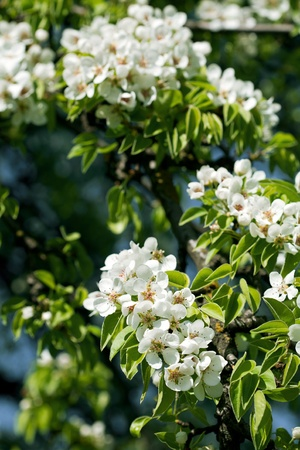 Beautiful spring blossoming pear tree with low dof