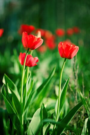 Red beautiful tulips field in spring time Stock Photo - 13748189