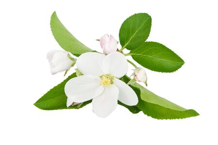 Apple blossom isolated on white background photo