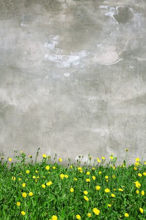 Old grunge street wall with blooming dandelions  photo