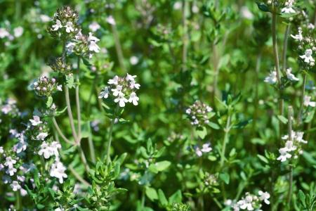Fresh thyme herbs -thymus vulgaris - growing in garden  Stock Photo