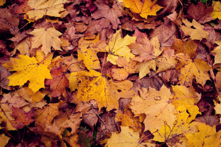 autumn background: Colorful background of autumn leaves