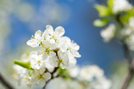 apple blossom: Beautiful spring blossoming plum tree with low dof