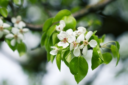Beautiful spring blossoming pear tree with low dof  photo