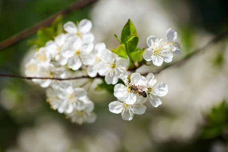 Beautiful spring blossoming plum tree with low dof photo