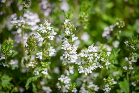 Fresh thyme herbs -thymus vulgaris - growing in garden  Stock Photo