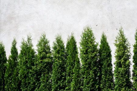 Row of thuja trees against white wall