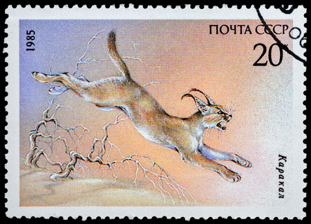 catlike: USSR - CIRCA 1985: A Stamp printed in USSR shows image of a Caracal from the series Endangered Wildlife, circa 1985