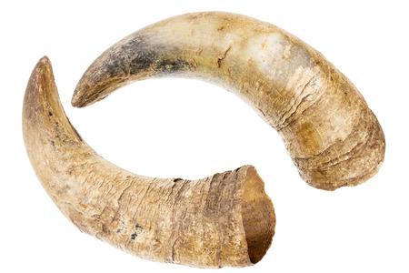 buey: Dos viejos cuernos de una vaca aislado en un fondo blanco Foto de archivo