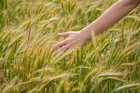 Female hand over field of fresh rye photo