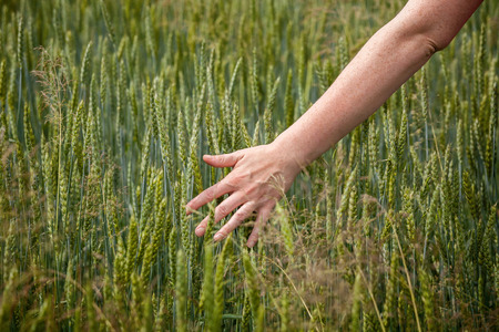 Female hand over field of fresh wheat photo