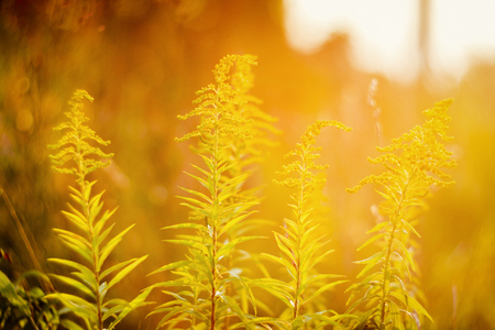 goldenrod: Blooming goldenrod (Solidago altissima) in sunset with low dof, soft focus lens