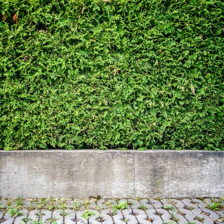 fence: Green arbour hedge with concrete basement  Stock Photo