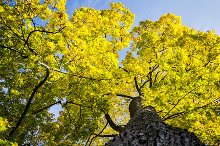 yellowing: Autumn tree with yellowing leaves against blue sky Stock Photo