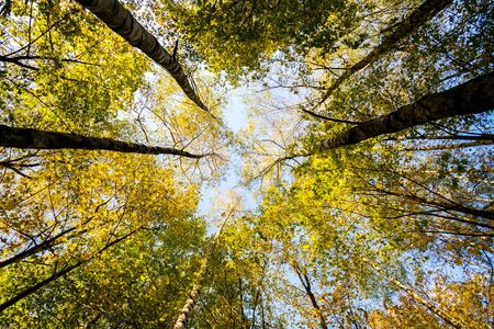 yellowing: Autumn trees with yellowing leaves against blue sky