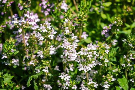 thymus: Fresh thyme herbs -thymus vulgaris - growing in garden Stock Photo