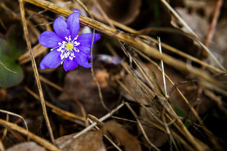 First fresh blue violet in the forest. Blue spring wildflower liverwort, Hepatica nobilis.