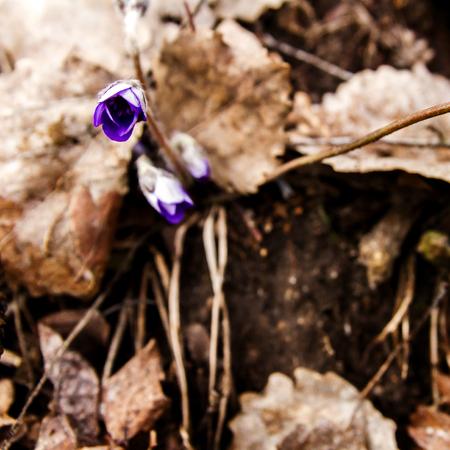 liverwort: First fresh blue violet in the forest. Blue spring wildflower liverwort, Hepatica nobilis.