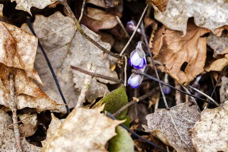 First fresh blue violet in the forest. Blue spring wildflower liverwort, Hepatica nobilis. Low deph of field