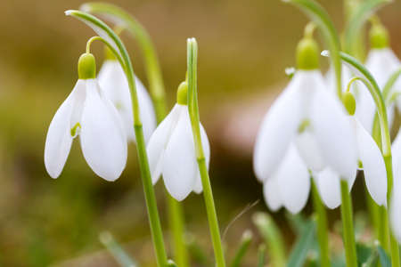 Closeup shot of fresh common snowdrops (Galanthus nivalis) blooming in the spring. Wild flowers field.