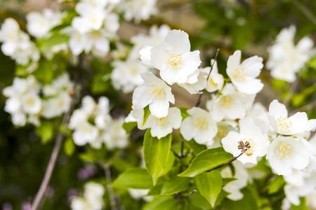 Mock orange tree - Philadelphus - flower blossoms in summer on a sunny day