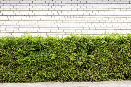 Green arbour hedge with white brick wall and sidewalk background