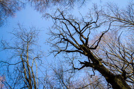 Oak tree branches with no leaves against blue sky. Silhouette of oak tree branches Stock Photo