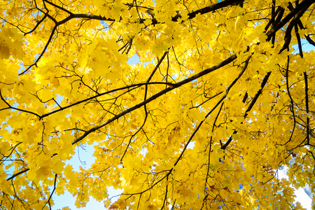 Autumn tree with yellowing leaves against the sky