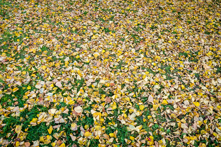 Dry linden leaves on grenn grass. Autumn background. Autumn leaves on the ground. Foto de archivo