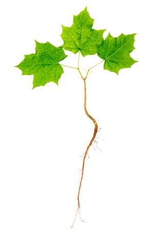 Young maple tree with roots isolated on white background.