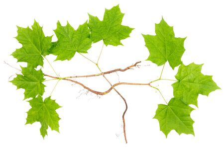 Young maple trees with roots isolated on white background.