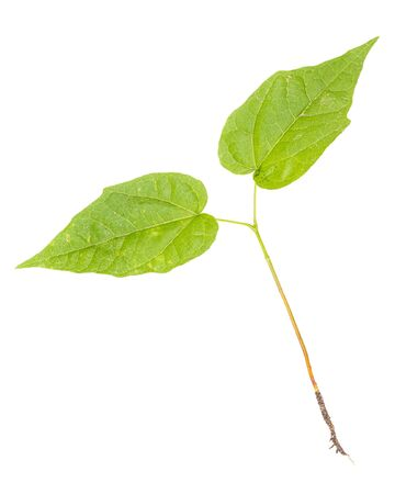 Young lilac tree with roots isolated on white background.