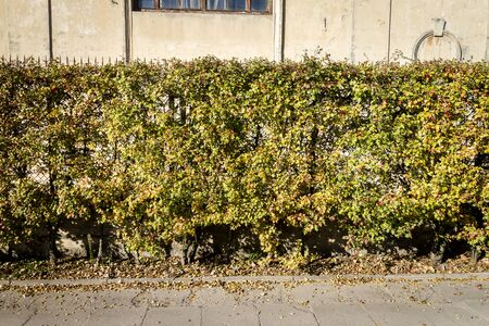 Yellow autumn hedge by the road. Urban nature background Stock fotó