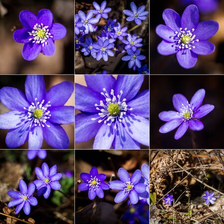 Collection of images with first fresh blue violets in the forest. Blue spring wildflowers liverwort, Hepatica nobilis.